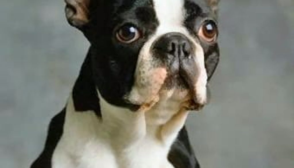 bostonterrier2